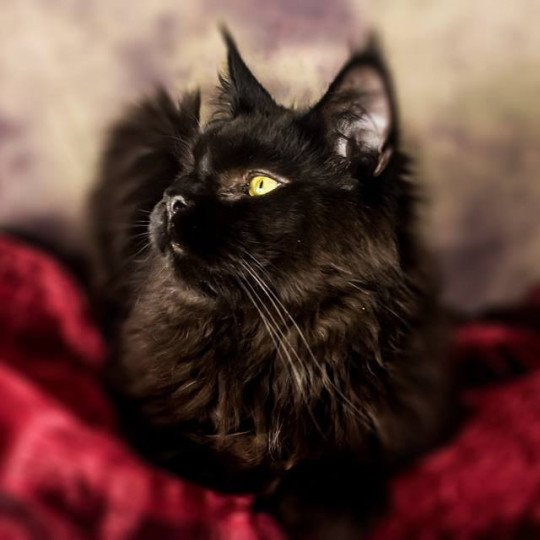 Night Dark  Mâle  Maine coon
