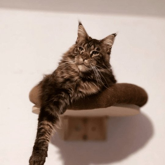 Ombre Chinoise  Femelle  Maine coon
