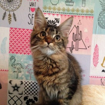 Maine coon brown mackerel tabby