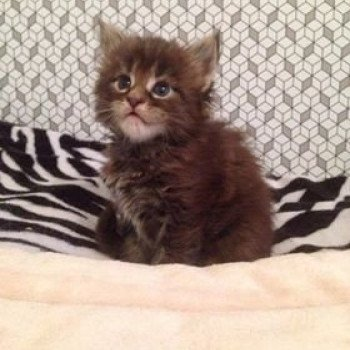 Maine coon brown blotched tabby